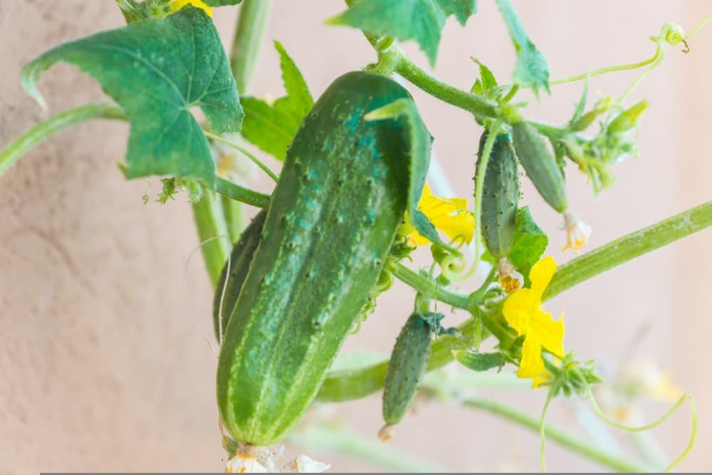 Parisian gherkin cucumber that is hanging from the vine