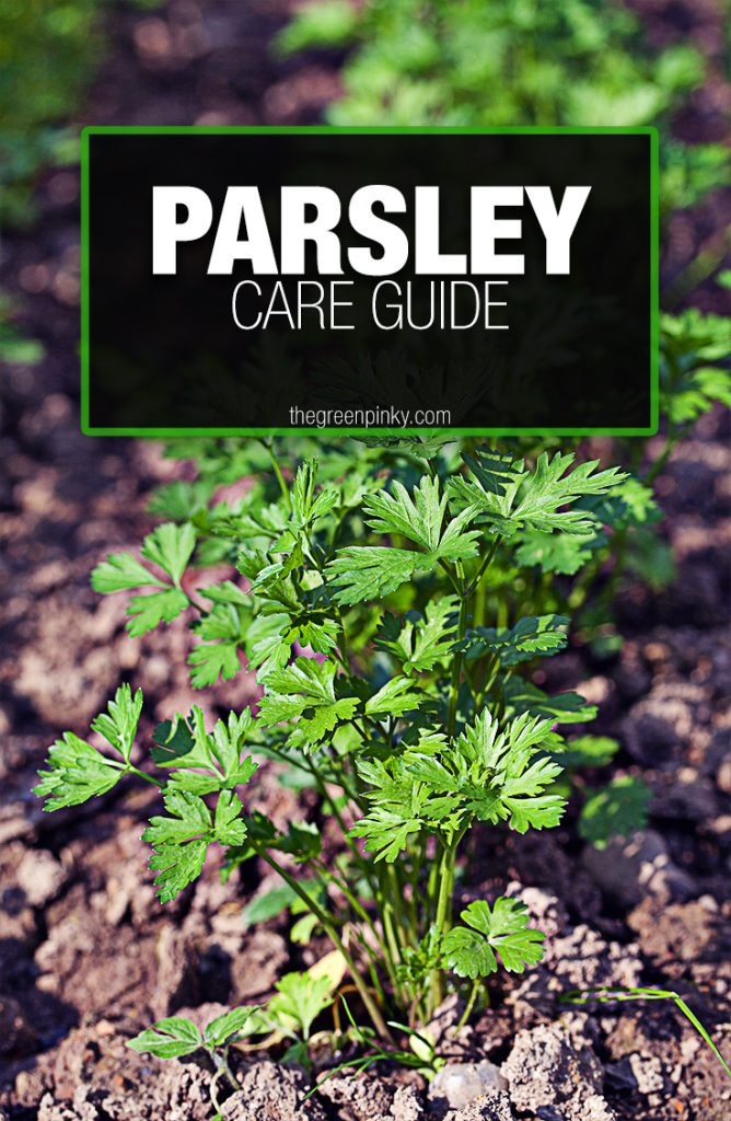 Proper and healthy growth of parsley requires maintenance, sun, and water