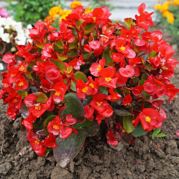 Begonias benefit from partial sun to grow optimally.