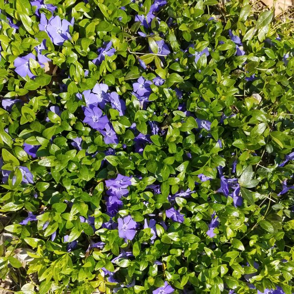 Purple periwinkles can add violet color.