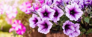 petunia flowers require proper care to bloom