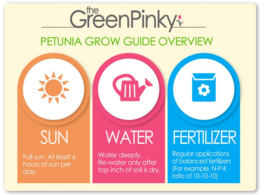 With proper sun, water, and fertilizer, petunias can grow robustly.