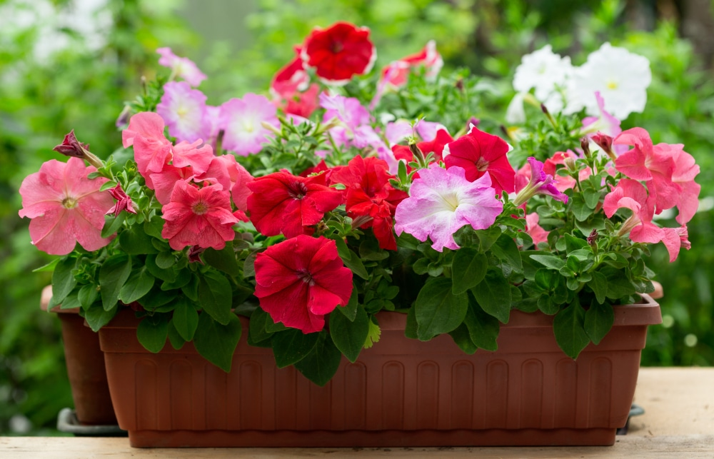 Petunias match well with many gardens