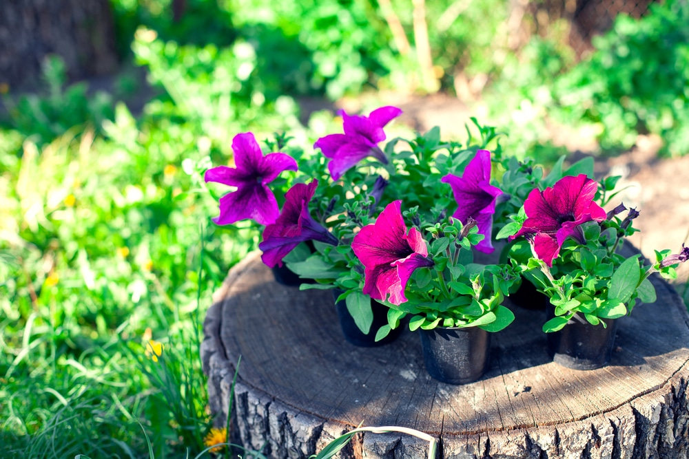 Transplant petunias that look like this to plant in the ground.