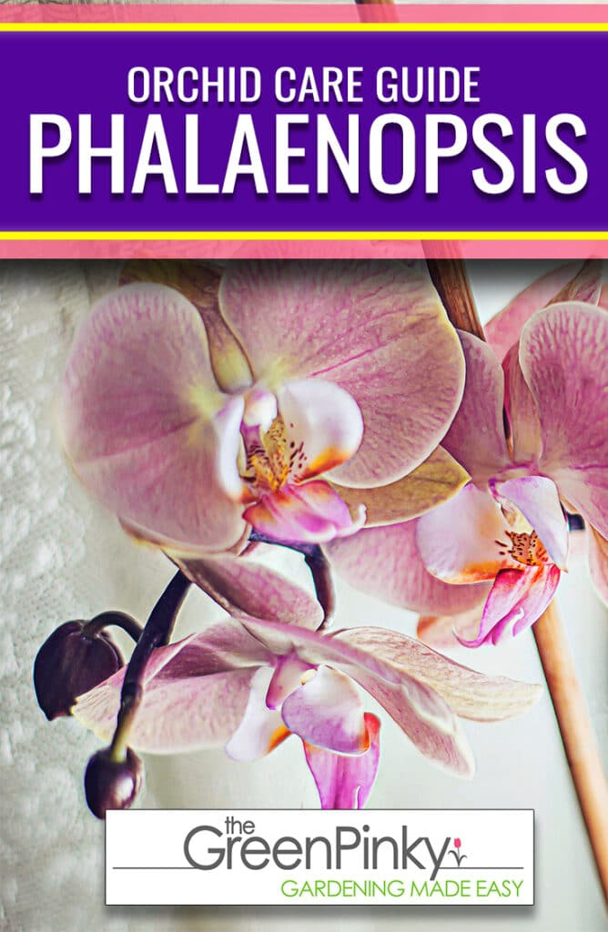 Phal's produce beautiful blooms if they are given the proper care and maintenance through a guide.