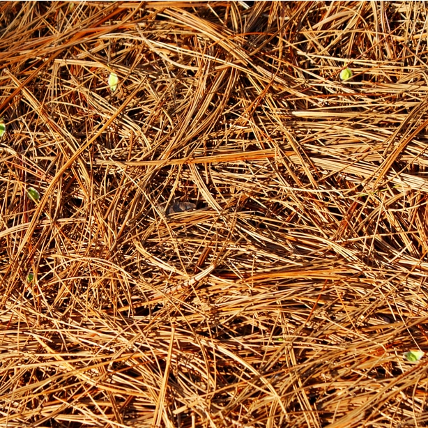 Pine straw holds moisture and is sustainable.