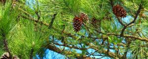 Pine tree needles growing healthy