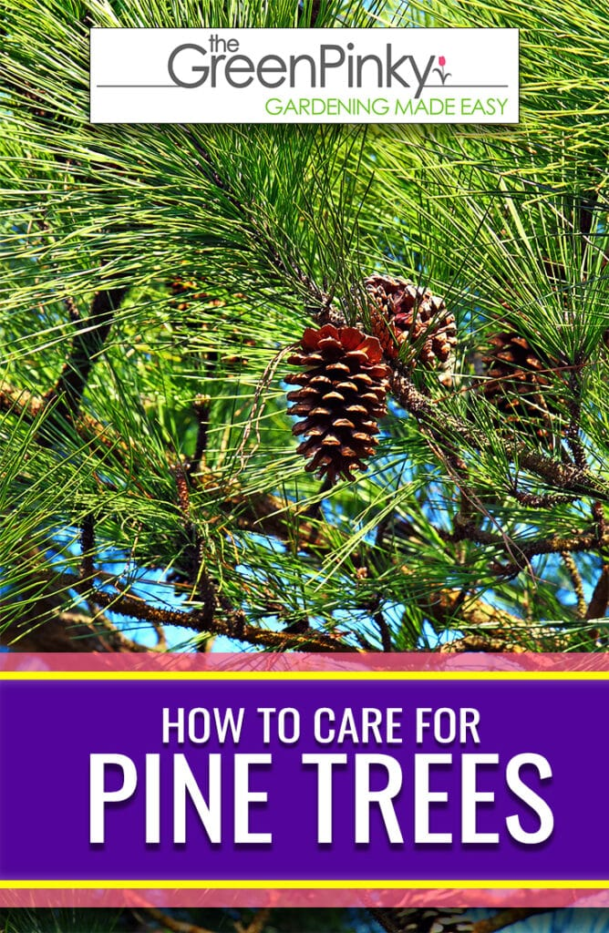 Pine trees require proper maintenance through a guide to remain healthy