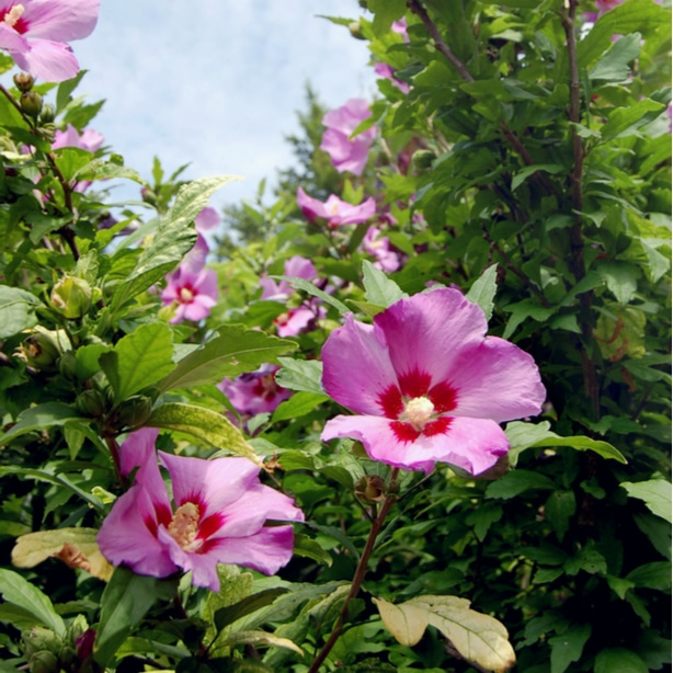 Pink hardy hibiscus flowers growing in an outside garden with proper care