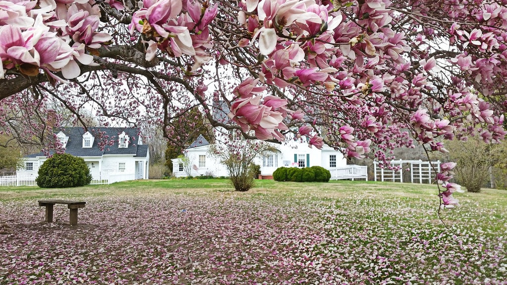 Pink petals from the tree have fallen all over the ground