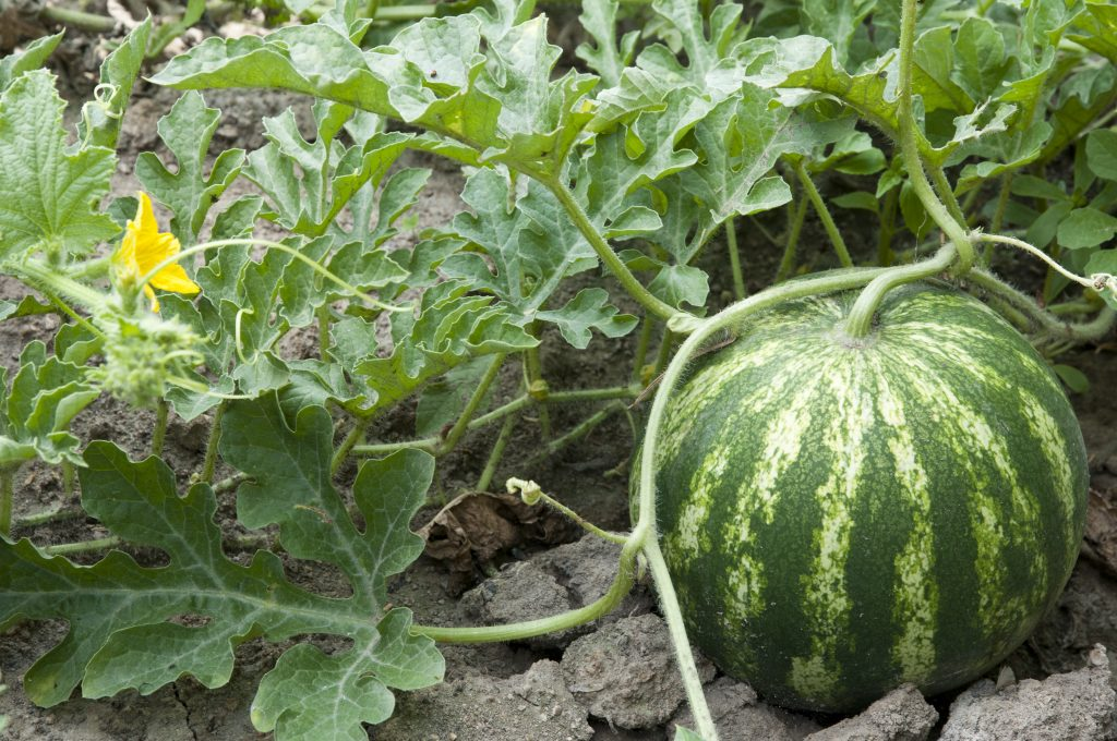 A plump watermalon that is almost ready for harvest