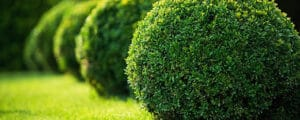 Planting boxwood in your yard requires proper instructions and tips