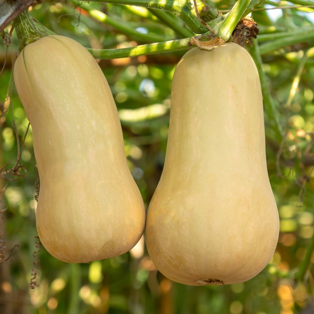 Planting gourds requires proper sun, fertilization, and timing for robust growth.