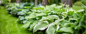Planting hostas with proper spacing is not difficult with a guide