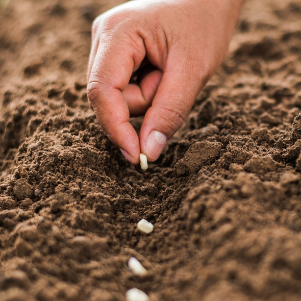 Kernels should be planted in rows
