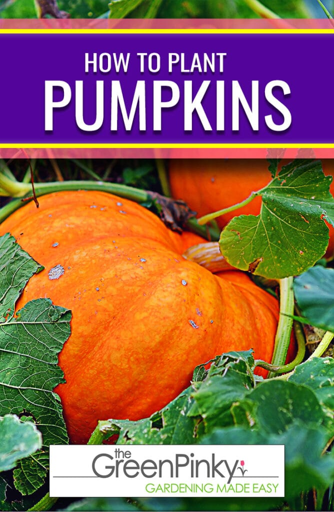 Our guide will show you how to grow seeds into beautiful pumpkins plants