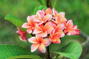 Beautiful plumeria bloom requires proper instructions