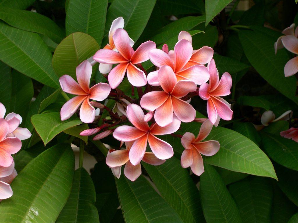 Plumeria require proper fertilization for robust growth