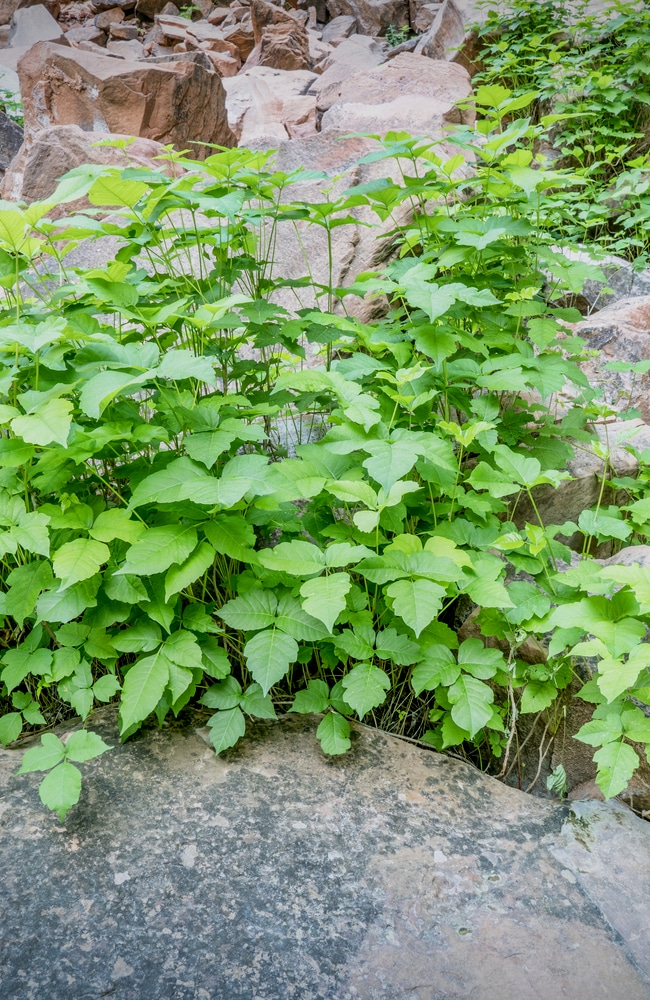 A bush poison ivy growing rampant that needs to be removed