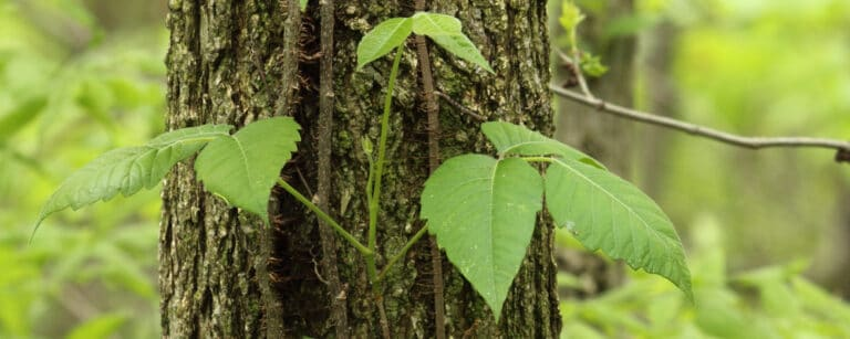Poison ivy growing on tree needs to be safely removed