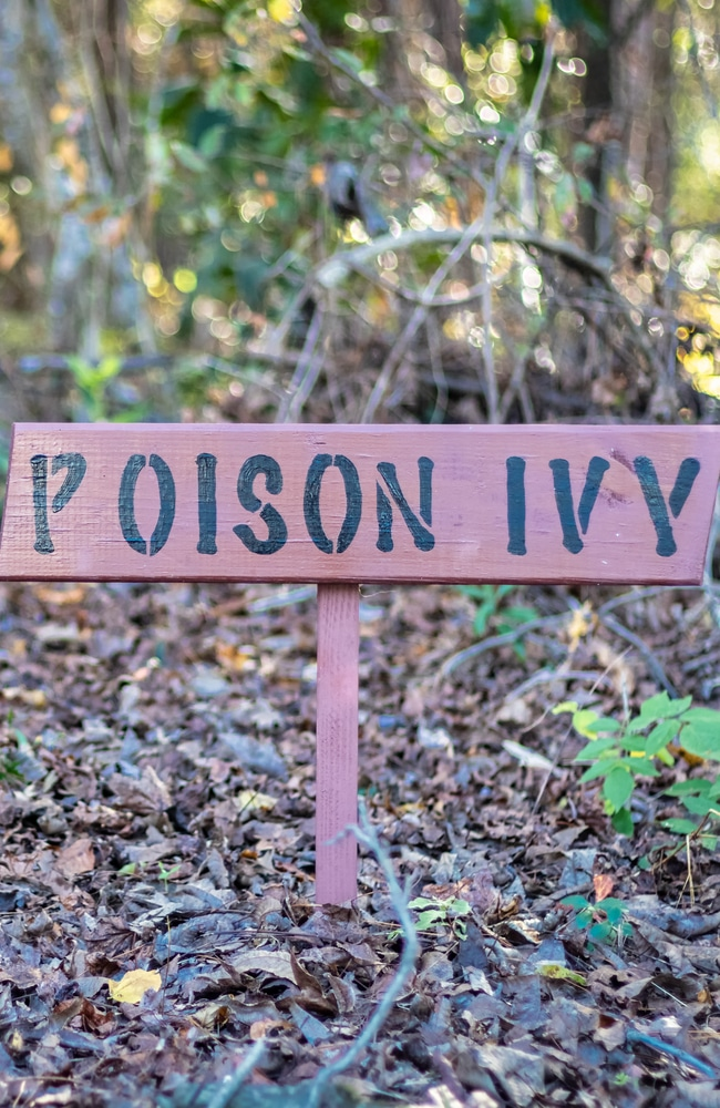 Poison ivy caution sign because of the dangers of poison ivy