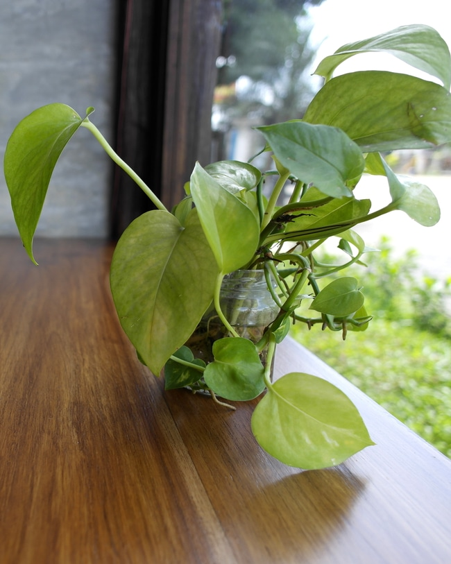 Devil's ivy plant growing out of a jar filled with water.