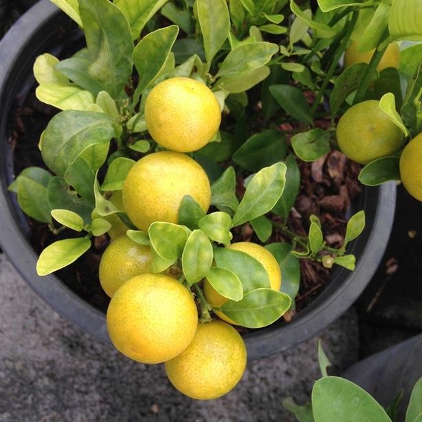 Lemon trees can flourish in pots when grown properly.