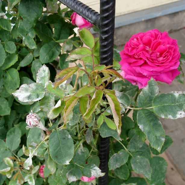 Powdery mildew appears as white substance on petals and leaves.