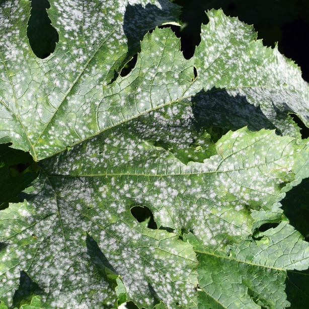 Powdery mildew appears as white small specks on the foliage