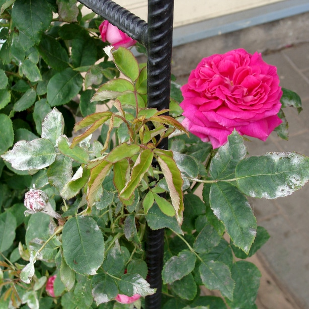 Powdery mildew can infest roses and other plants as well.