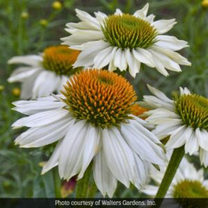Coneflowers make a beautiful addition to butterfly gardens.