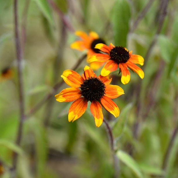 Prairie glow is a black eyed susan that has red-orange with yellow tips