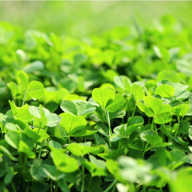 Clovers can prevent other invasive species from growing on your yard