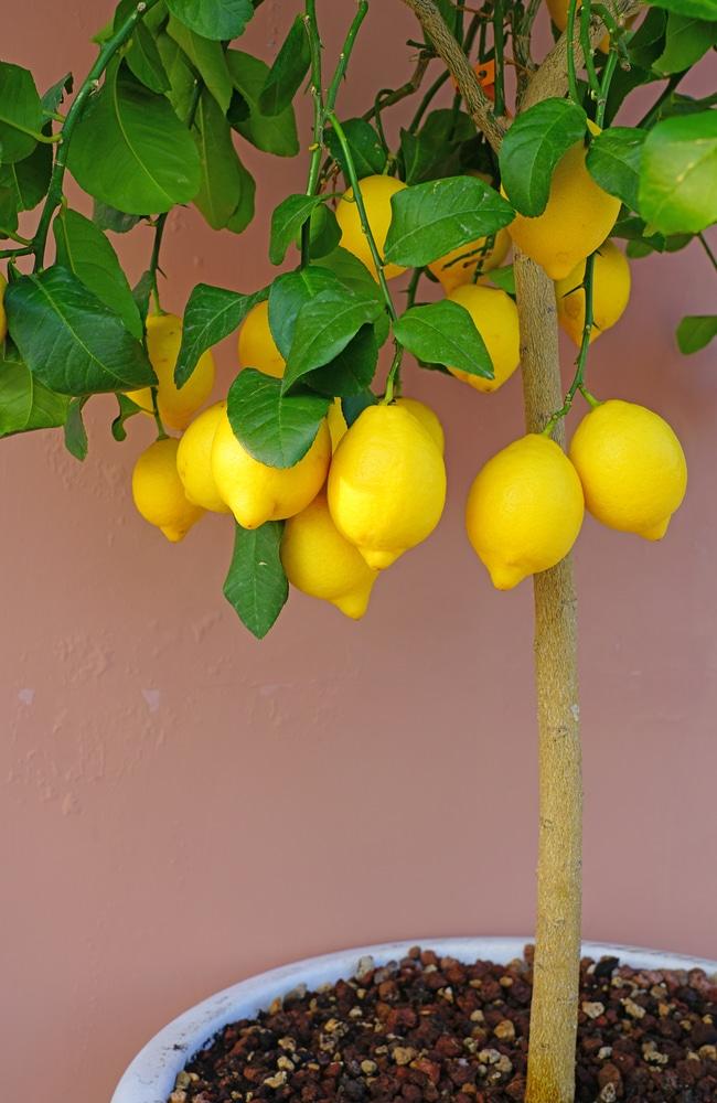 Proper fertilization will allow lemon tree to grow properly