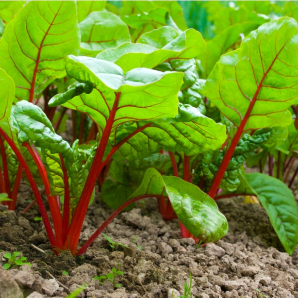 Beets with proper growth growing from the ground.