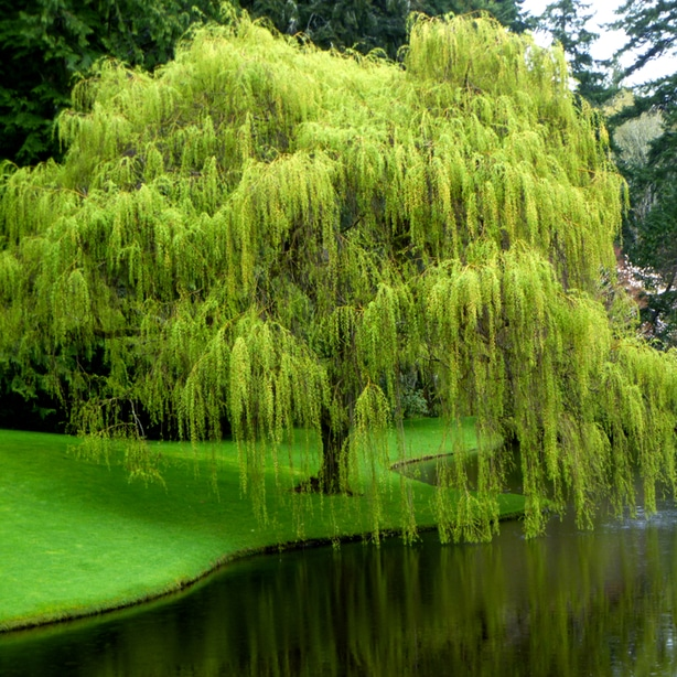 Weeping willows love moist environments