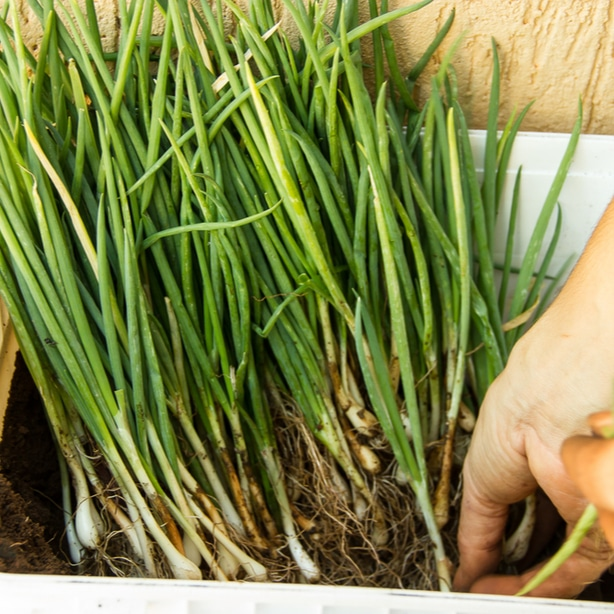 Fresh chives of different varieties add great flavor