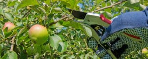 Trimming an apple tree to increase its yields is not difficult