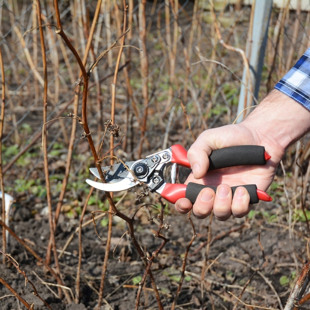 Pruning in the fall can help your plant become healthier in the spring