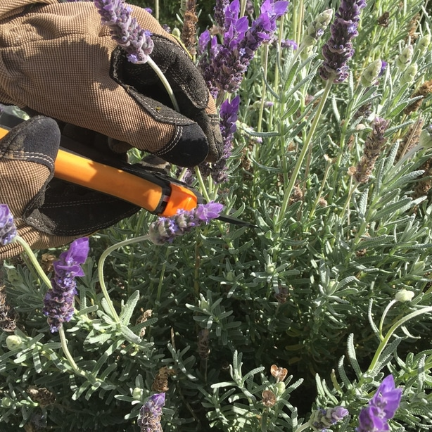 Lavender can benefit from having their stems trimmed from time to time.