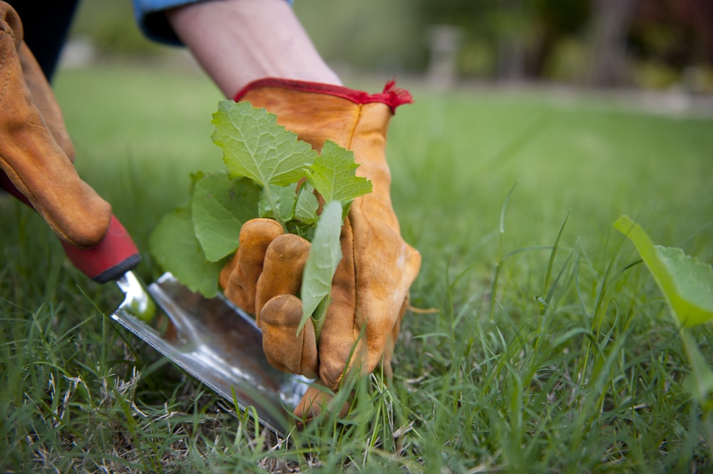 A man grabbing out weeds with gloves on