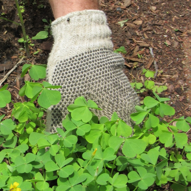 Pulling clover by hand is the best method if you only have small amounts