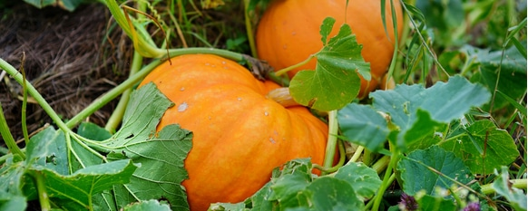 It is important for pumpkins to go through each growth stage in a healthy manner with a guide
