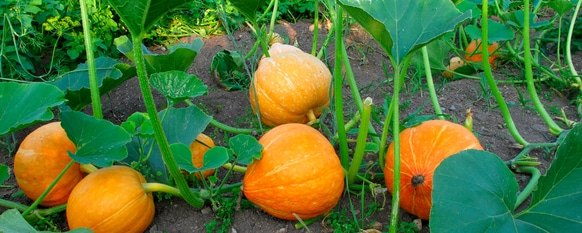 Gourds still attached to and growing from the vine