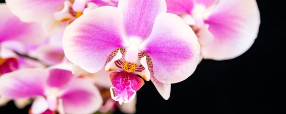 Purple beautiful blooms can be attained through a proper orchid care guide.