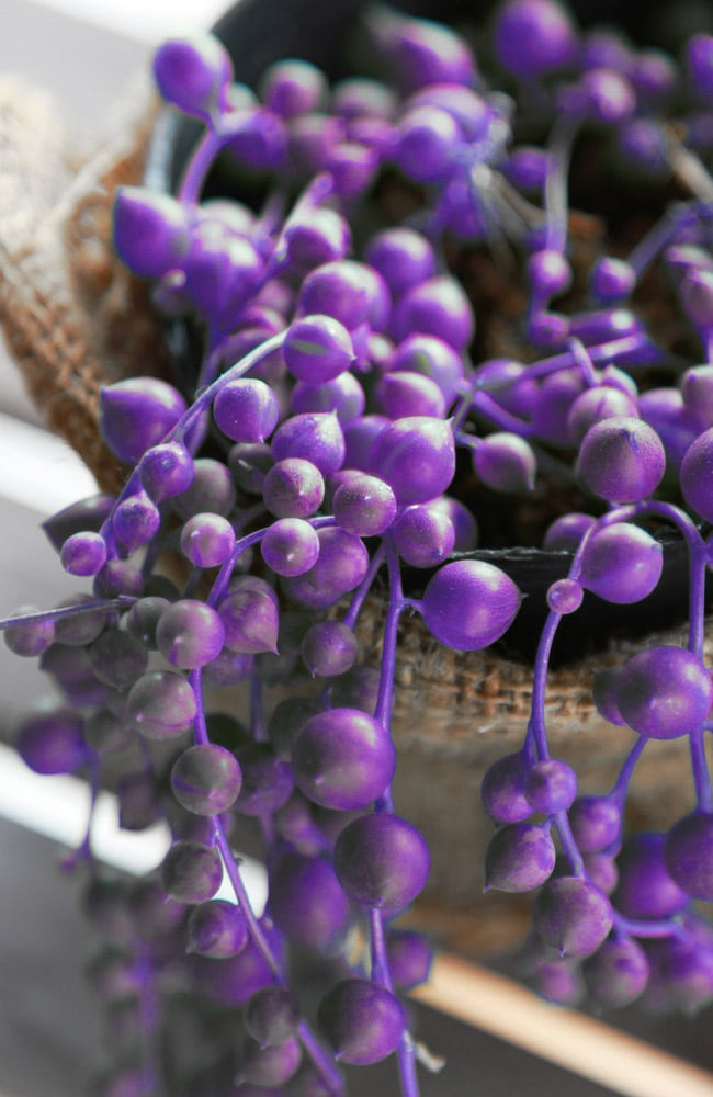 Purple string of pearl plants do not exist