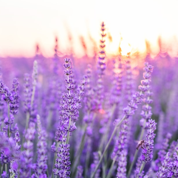 Purple flowers make a striking contrast against the backdrop of a sunset