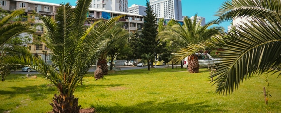 Pygmy date palm trees growing healthy with proper care