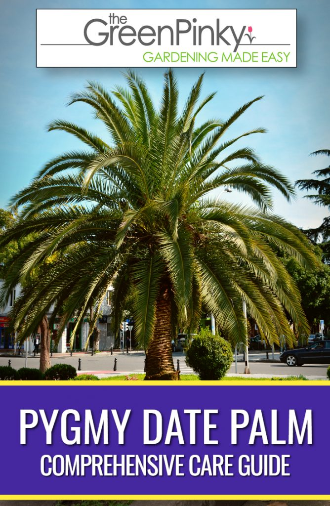 Proper care of a pygmy date palm tree results in a healthy tree.