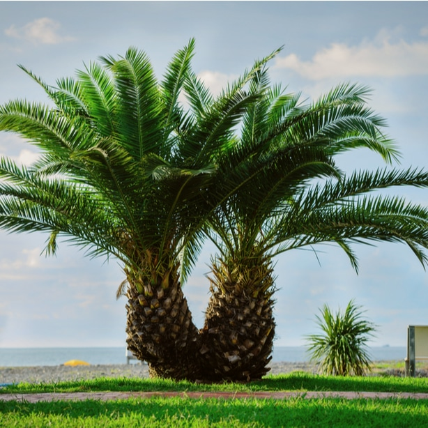 Pygmy date palm growing healthily in its natural environment.